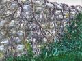 Verwachsene Mauer